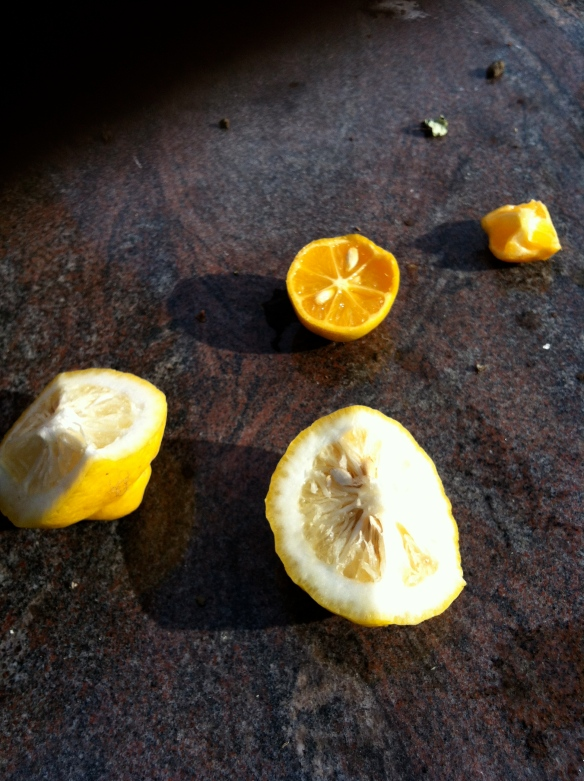 Peter grows a variety of citrus: We tasted Yuzu, Palestinian limes, meyer lemons, bergamont oranges and rangpur limes.